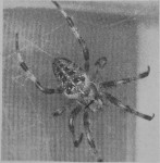LASER LESIONS AND SPIDER WEB CONSTRUCTION<br><strong>Reprinted from Nature</strong>