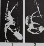 BEHAVIORAL EVIDENCE OF CHEMORECEPTION ON THE LEGS OF THE SPIDER…<br><strong>THE JOURNAL OF ARACHNOLOGY</strong>