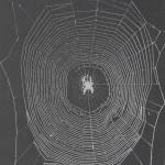 Quantitative Analysis of Orb Web Patterns in Four Species of Spiders  Behavior Genetics
