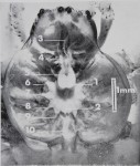 DONNÉES MORPHOLOGIQUES PERMETTANT DE LOCALISER<br><strong>BULLETIN DU MUSÉUM NATIONAL D'HISTOIRE NATURELLE</strong>