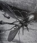 COMPARATIVE STUDIES OF DICTYNA AND MALLOS (ARANEAE, DICTYNIDAE) III. PREY AND PREDATORY BEHAVIOR<br><strong>PSYCHE</strong>